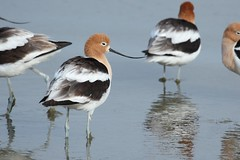 American Avocet (Rita Wiskowski) Tags: bird wisconsin american shore milwaukee avocets mckinleybeach