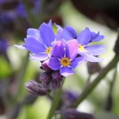 Vergissmeinicht #mygarden #flower #flowers #flowerlover #flowermacro #forgetmenot #plant #spring #color #blue #natur #nature #nature_josefharald #macro #nofilter #macro_power_hour #macroflower #igersgermany #germany #instagramhub