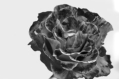 Brutal Rose (JHRoundy) Tags: bw flower rose brutal top20blackandwhite