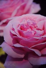 Rosas rosa, para Ana Mara (Aprehendiz-Ana La) Tags: color luz amor rosa cumpleaos amistad jardn alegra fotografa festejos mardelaspampas aprehendiz