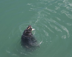 the seals' fish lunch! pt.11 (Wendy:) Tags: food seagulls 350d kitlens seal dunlaoghaire per2