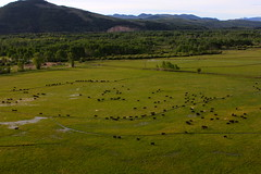 A View of the Pasture (andrewpug) Tags: green peace cows meadow pasture serenity hotairballoon wyoming jacksonhole