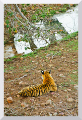 T-17 (Sundari) Tigress (the collar has now been removed)   Ranthambhore National Park, Rajasthan (thelegendreturns (www.mybioscope.net)) Tags: cats india mammal tiger national bengal tigris rajasthan 2012 ranthambore parkroyal ranthambhore panthera madhopur ranthamborenationalpark ranthambhorenationalpark tigrispanthera maneeshgoal wwwmybioscopenet tigrisranthambhore parkranthambore tigersawai
