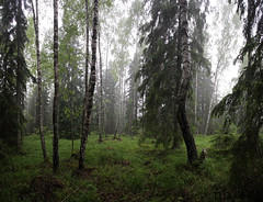 Dimmig skog (blotafton) Tags: panorama fog forest canon eos sweden skog sverige efs 1022 dimma 40d