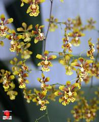 Orchids - Grandiphyllum Divaricatum - Orchidaceae C20120422 025 (fotoproze) Tags: canada orchids quebec montreal orchidee orqudeas orchideje 2012 orchides anggrek orchideen   orkide jardinbotaniquedemontral montrealbotanicalgardens hoalan storczyki orchideen  orhidee  orkideer  orqudies orkideat brnugrs orhideje  orkider orkideak orchidey   orchidek magairln  tegeirianau
