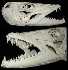 Crne de Grand Barracuda / Great Barracuda Skull (Sphyraena barracuda) (JC-Osteo) Tags: fish skulls skeleton skull collection bones bone poisson barracuda crne guillotine squelette greatbarracuda osteology sphyraenabarracuda fishskull sphyraena ostologie jctheil bcune grandbarracuda sphyrne