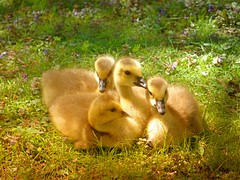 Goslings (brooksbos) Tags: park cute nature birds animals yellow boston gardens geotagged ma photography geese photo spring adorable newengland olympus goslings fenway bostonma fens masschusetts 02115 victorygardens lurvely thatsboston xz1 brooksbos