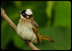 Light-vented Bulbul (BorisWorkshop (130k+ views, thanks)) Tags: ngc taiwan npc alian specanimal thelightventedbulbul freedomtosoarlevel1birdphotosonly