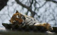 Catnap: Supersized (DGS Photography) Tags: zoo nap tiger chainlink arkansas bengal tigris gentry panthera wildlifedrivethroughsafari