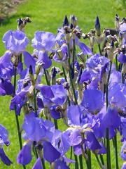 Bonn - Botanic Garden (Hlne_D) Tags: iris plant flower fleur plante germany deutschland university bonn universit nrw botanicgarden allemagne nordrheinwestfalen jardinbotanique northrhinewestphalia universityofbonn rhnaniedunordwestphalie hlned universitdebonn