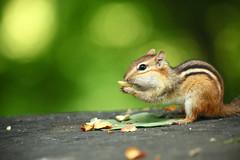 Chipmunk and peanuts (bukharov) Tags: park toronto forest bokeh nuts peanuts    wynford  beautifulbokeh greenbokeh  canoneos5dmarkii  chipmunkeatingpeanuts beautifulchipmunk awesomechipmunk