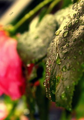 At A Rainy Day - Day 1 of 365 (nele z.) Tags: pink sunlight macro green nature water rose canon project germany outside photography focus rainyday bokeh days german 365 waterdrops macrophotography naturelover femalephotographer youngphotographer girlphotographer 365daysproject teenagephotographer canoneos1100d