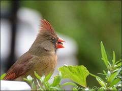 Cardinal femelle (Myosotis 12) Tags: nature cardinal oiseau oiseaux ornithologie me2youphotographylevel1 freedomtosoarlevel1birdphotosonly