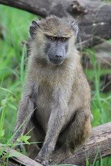 Baby baboon (jnyaroundtheworld) Tags: africa animals tanzania wildlife lion ngorongoro crater zebra giraffe massai serengeti animaux girafe afrique faune zbre tanzanie greatmigration wetseason manyaralake ndutu felins masa lacmanyara saisondespluies grandemigration