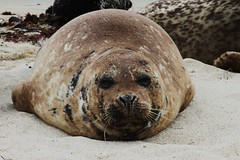 Super Adorable Creature (Leigh Myers) Tags: sandiego lajolla seals