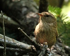 Winter Wren 2 (mbmcclintock) Tags: haystack
