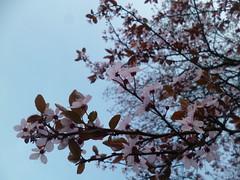 Pink blossom pink leaves (seikinsou) Tags: pink brussels brick cherry leaf spring belgium belgique blossom bruxelles