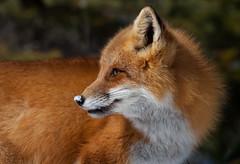 Red Fox (Phiddy1) Tags: ngc npc