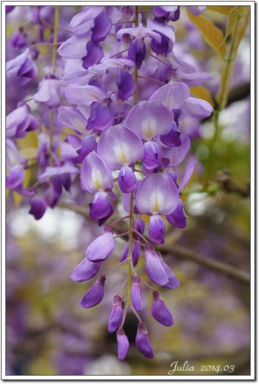 紫藤、老梅 (11)