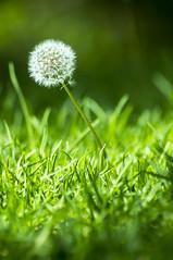 jardin canario (11 de 16) (IVANGARCHA) Tags: flower grancanaria flor canarias tenerife wellness taraxacumofficinale dientedeleon jardincanario medicinales achicoriaamarga saludable porpiedadesdepurativas