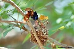 PICT2119 (Arno Meintjes Wildlife) Tags: africa bird nature southafrica wildlife safari krugerpark bird1 wildbird terpsiphoneviridis arnomeintjes africanparadiseflycatcherchicks