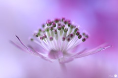 Finesse (Trayc99) Tags: pink floral decorative softness delicate astrantia floralart masterwort flowerphotography