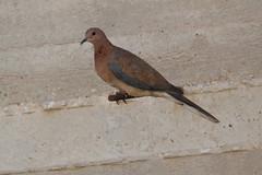 Amman - Project Office Garden - Dove (jrozwado) Tags: bird asia dove amman jordan الأردنّ عمّان