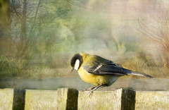 """""""It looks a long way down!"""" (Elisafox22 still Off more than On!) Tags: wood trees bird texture sunshine photoshop fence lens outdoors wooden shadows background sony telephoto layers greattit fenceposts texturing 55210mm fencefriday fencedfriday nex7 elisafox22 elisaliddell©2016"""