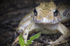 Blyth's River Frog (Abhishek T) Tags: macro nature animals river wildlife frog frogs amphibians blyths