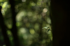 Untitled (/KENTAMA) Tags: tree green nature leaves forest woods bokeh may  earlysummer 6d     nikkor50mmf12