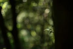 Untitled (/KENTAMA) Tags: tree green nature forest leaf woods bokeh may  earlysummer 6d     nikkor50mmf12