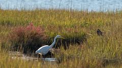 Hunters Converging Slowly (ken.krach (kjkmep)) Tags: heron greategret assateagueislandnationalseashore