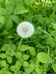 Wheaton, IL, Herrick Lake Forest Preserve, Dandelion Seeds Poised for Flight (Mary Warren (6.8+ Million Views)) Tags: plants green nature leaves spring flora dandelion seeds foliage seedhead wheatonil herricklakeforestpreserve