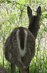 IMG_3972 (rachelaughs) Tags: nature animal animals outdoor deer whitetailed whitetaileddeer mendonponds mendonpondspark