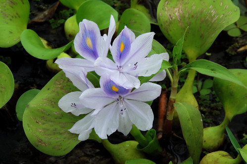 Weerawila Lake - Water-hyacinth