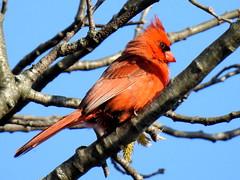 Cardinal, Cardinalis cardinalis, Male (2) (Herman Giethoorn) Tags: red cardinal