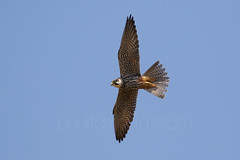 Hobby (Falco subbuteo) (shaftination) Tags: flying inflight slim small hunting fast bluesky hobby raptor gliding predator birdofprey redvent acrobatic heathland agile airbourne redtrousers eurasianhobby falcosubbuteo hookedbill curvedbill rapere streakedunderparts rapierlike streakyunderside subgenushypotriorchis sythelike paulfarnfieldcom