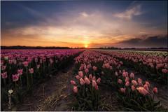 Tulip field (Caramad) Tags: sunset flower holland color sol field landscape flor magenta jardin rosa tulip campo holanda agricultura tulipn lisse paisesbajos keukenhot