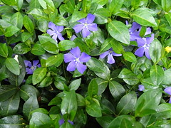 Periwinkle (Robbie1) Tags: flowers garden periwinkle connaught