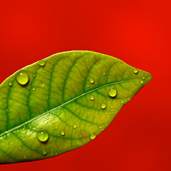 Spotted Leaf (j.towbin ) Tags: red leaves minimalism waterdroplets justleaves macromonday allrightsreserved