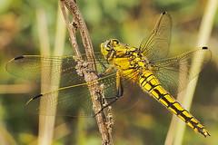 Gr Blaupfeil Orthetrum cancellatum 160523-1889 _Herrensee_SOOCx_ (Pixel-Cat) Tags: dragonfly olympus libelle omd skimmer odonata libellulidae anisoptera strausberg em5 sooc segellibellen herrensee orthtetrum mzuiko75300mmf4867ii blaufpeil