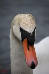 Mother Swan (Max Jongkoen) Tags: baby swan zwaan littleswan jongezwaantjes