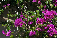 Bougainvillea (Colorado Sands) Tags: pink flowers espaa plant flores flower floral fleur leaves spain europe flor catalonia bougainvillea catalunya blossoming fiori blommor sitges bloemen buganvilla sandraleidholdt