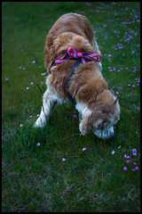 Nick.  From the Norwegian National Day, May 17th 2016 (fotografier/images) Tags: leica flowers beach grass norway goldenretriever 50mm golden evening canine retriever sl summicron nationalday 17thmay norwegiannationalday leicasl littledoglaughedstories aposummicron50mm