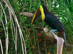P4268703 (lychee_vanilla) Tags: bird animal toucan costarica tier tucn blackmandibledtoucan ramphastosambiguus vigel quioro tucnpiconegro