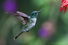 White-bellied Mountain Gem Hummingbird (male)-0171. (Lampornis calolaemus)). Please view large. (dennis.zaebst) Tags: male bird animal costarica hummingbird outdoor centralamerica whitebelliedmountaingem naturesspirit naturethroughthelens