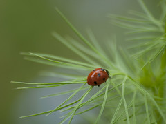 En route **--- ° (Titole) Tags: coccinelle ladybug ladybird titole nicolefaton nigellededamas nigella nigelladamascena red green friendlychallenges unanimouswinner thechallengefactory