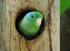 Forpus conspicillatus (Wilmer Quiceno) Tags: birds birding aves medellin perico forpusconspicillatus spectacledparrotlet