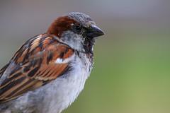 7D2L6577 (ndall) Tags: birds housesparrow scilly tresco