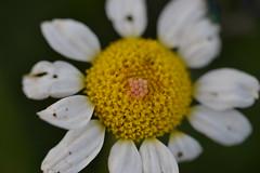 Puesta de huevos en margarita (esta_ahi) Tags: barcelona espaa flores insectos fauna spain flora flor huevos margarita puesta asteraceae peneds compositae  santmartsarroca canbarcel
